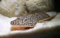 Pseudohemiodon lamina - Click for species page