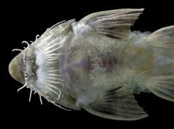 Pseudohemiodon sp. `AMAZONAS VENEZUELA`