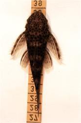 Pseudolithoxus dumus