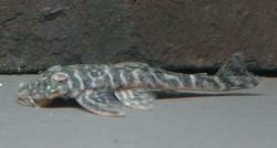 Pseudolithoxus kelsorum