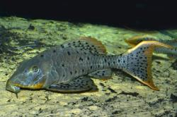 Pseudorinelepis sp. (L095)