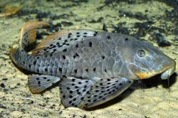 Pseudorinelepis sp. (L095)