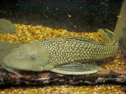 Pterygoplichthys ambrosettii - Click for species data page