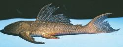 Pterygoplichthys chrysostiktos - Click for species data page