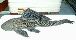 Pterygoplichthys disjunctivus - Click for species data page