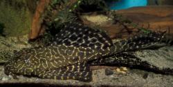 Pterygoplichthys lituratus