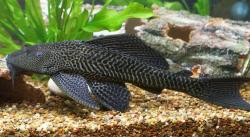 Pterygoplichthys pardalis - Click for species data page