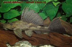 Pterygoplichthys sp. (L347) - Click for species data page