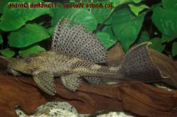 Pterygoplichthys sp. (L347)