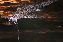 Rhadinoloricaria ommation