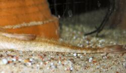Rineloricaria latirostris