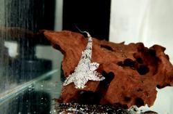 Rineloricaria sp. `JACAREACANGA` - Click for species data page