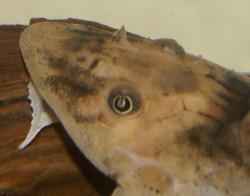 Rineloricaria sp. `PERU ORANGE`