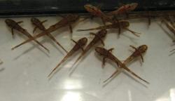 Rineloricaria sp. (L010A)