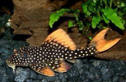 Scobinancistrus aureatus - Click for species data page