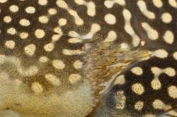 Scobinancistrus aureatus