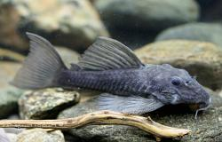 Spectracanthicus immaculatus - Click for species data page