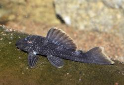 Spectracanthicus murinus - Click for species data page