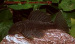 Spectracanthicus sp. (L363) - Click for species data page