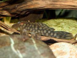 Spectracanthicus zuanoni