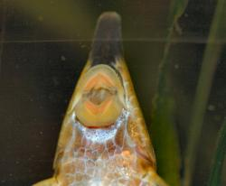 Sturisoma nigrirostrum
