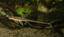 Sturisomatichthys panamensis - Click for species data page
