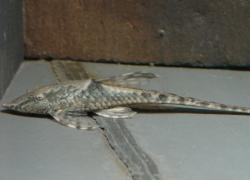 Sturisomatichthys sp. `RIO ATABAPO`