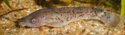Malapterurus microstoma
