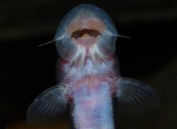 Chiloglanis congicus