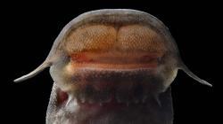 Euchilichthys cf. astatodon