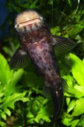 Euchilichthys guentheri