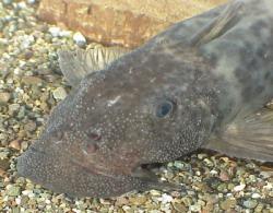Euchilichthys royauxi