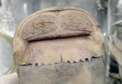 Euchilichthys sp. (1)