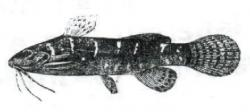 Microsynodontis christyi