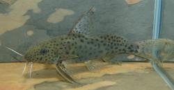 Synodontis acanthomias - Click for species data page