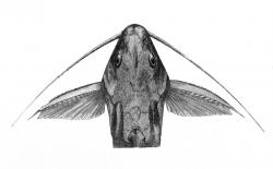 Synodontis arnoulti
