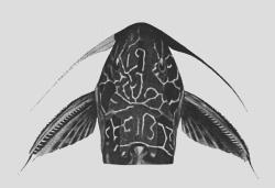 Synodontis aterrimus