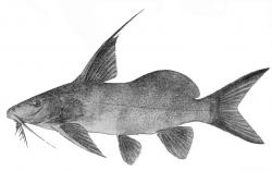 Synodontis bastiani