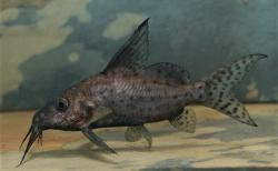 Synodontis batensoda - Click for species data page