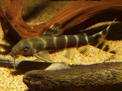 Synodontis brichardi - Click for species data page