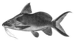 Synodontis caudovittatus