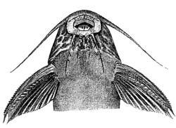 Synodontis centralis