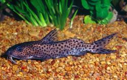 Synodontis cf. multimaculatus - Click for species page