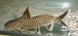 Synodontis cf. polli(2) - Click for species page