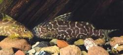 Synodontis comoensis - Click for species data page