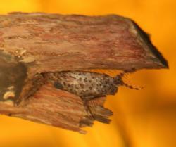 Synodontis contractus