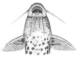 Synodontis courteti
