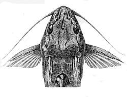 Synodontis fuelleborni