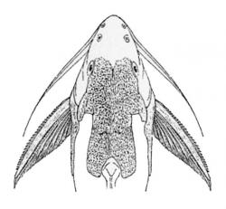 Synodontis geledensis