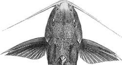Synodontis iturii